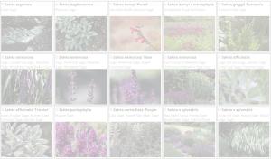 Salvia | Copyright 2016 The Plantium Company. | www.theplantium.com