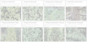 Thuja | Copyright 2016 The Plantium Company. | www.theplantium.com