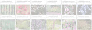 penstemon | Copyright 2016 The Plantium Company. | www.theplantium.com