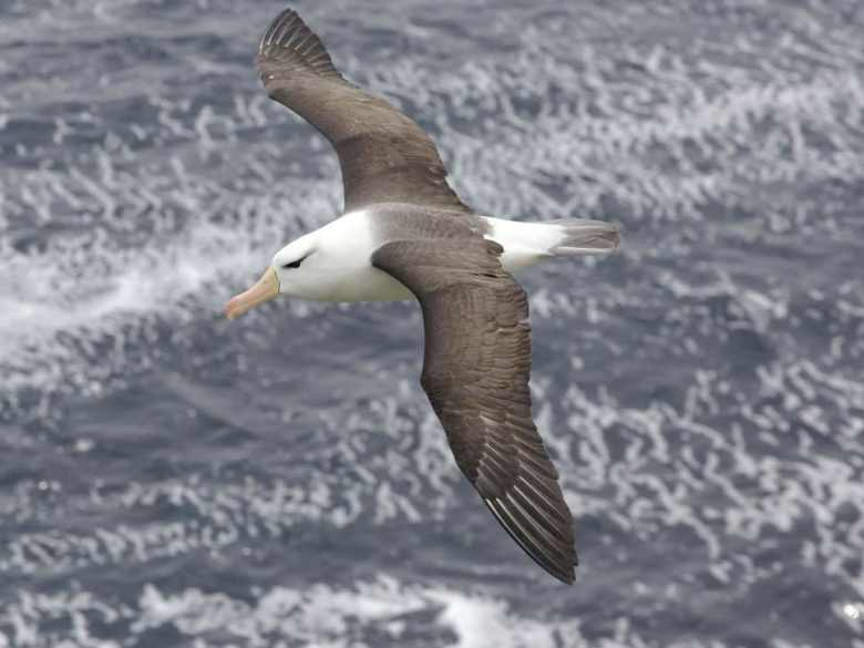 Albatross long distance flights