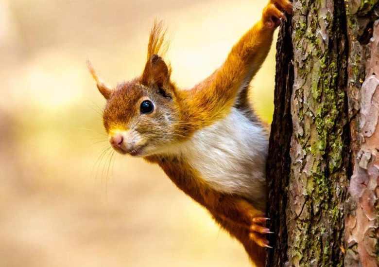 Grey Squirrel Red Squirrels