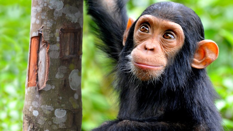 Vogue features Chimpanzee