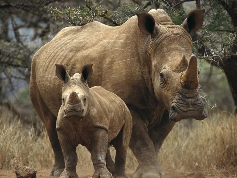 snorting rhino horn