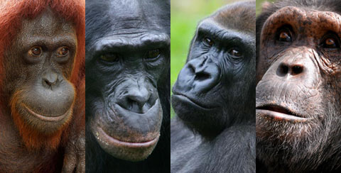Other Great Apes