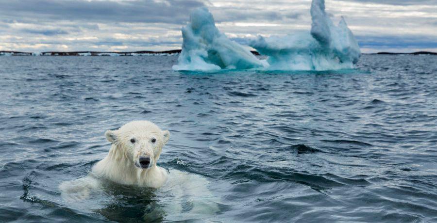 Polar Bear Sinking