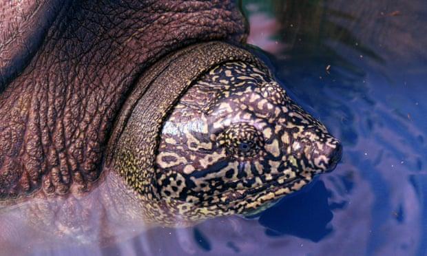Swinhoe's Softshell Turtle