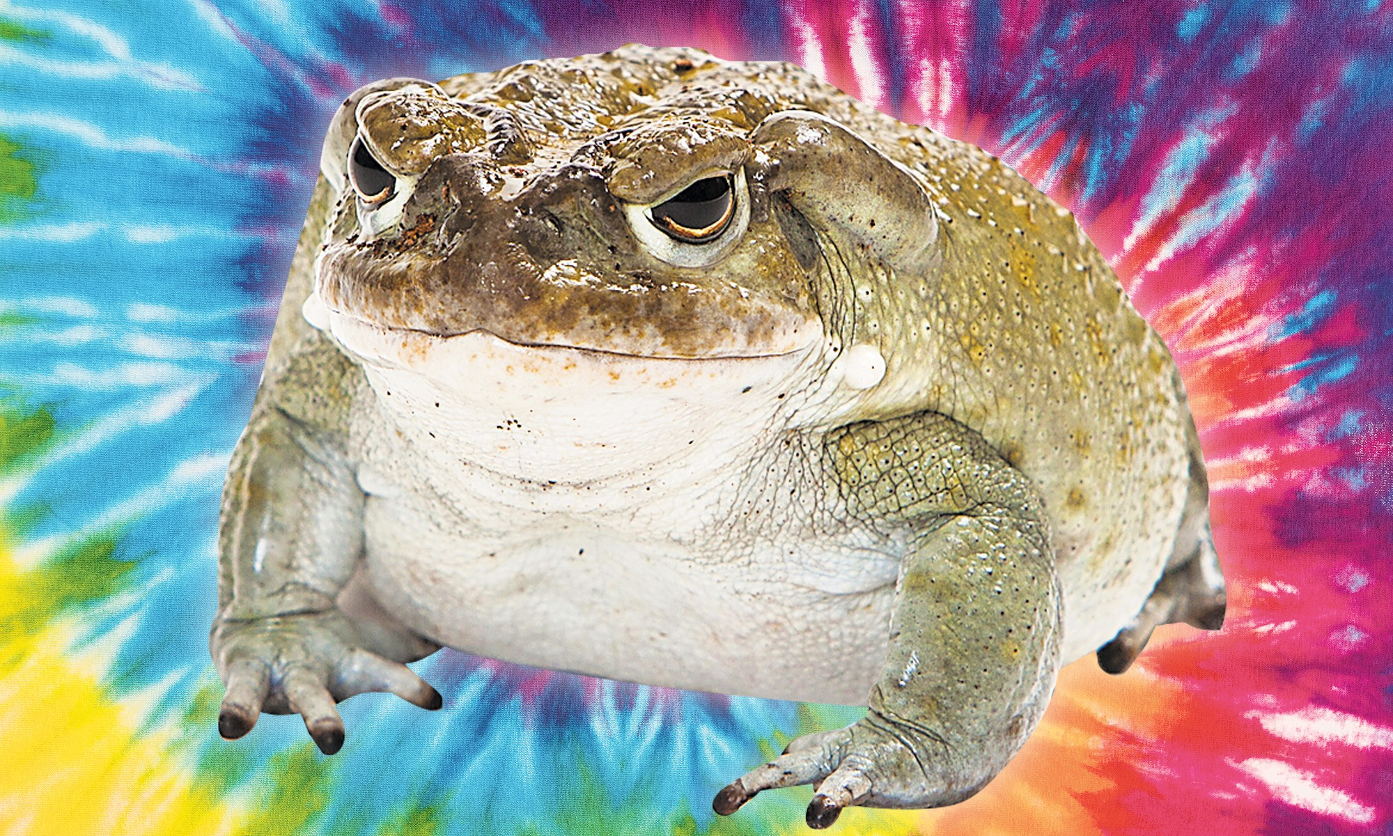 Milking Psychedelic Toads