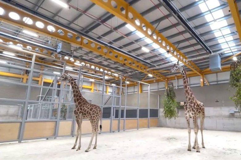 Giraffes Returning to Edinburgh Zoo