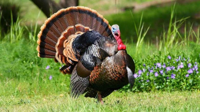 Turkeys in the UK