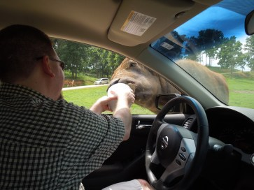 Safari Oxen