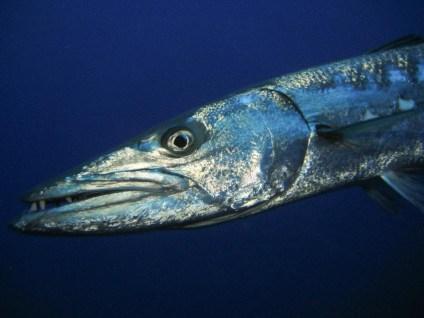Barracuda (Flickr)