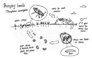 The lifecycle of a burying beetle (Photo Credit: By Dakuhippo)