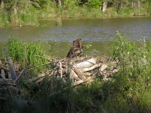 The beaver tastes the cold air / as he builds his dam (Photo Credit: Marcin Klapczynski)