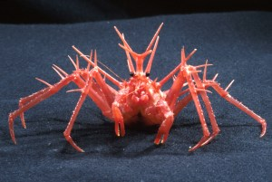 The frankly terrifying King Crab (Photo Credit: CSIRO)