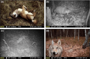 Photographs of animals visiting the remote cameras in the CEZ (Photo Credit: Sarah C Webster, Michael E Byrne, Stacey L Lance, Cara N Love, Thomas G Hinton, Dmitry Shamovich, James C Beasley. Where the wild things are: influence of radiation on the distribution of four mammalian species within the Chernobyl Exclusion Zone. Frontiers in Ecology and the Environment, 2016; DOI: 10.1002/fee.1227).