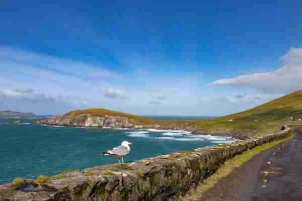 A Seagull standing on a stone wall on the Wild Atlantic Way @ Coumeenoole,  Dingle, Co Kerry