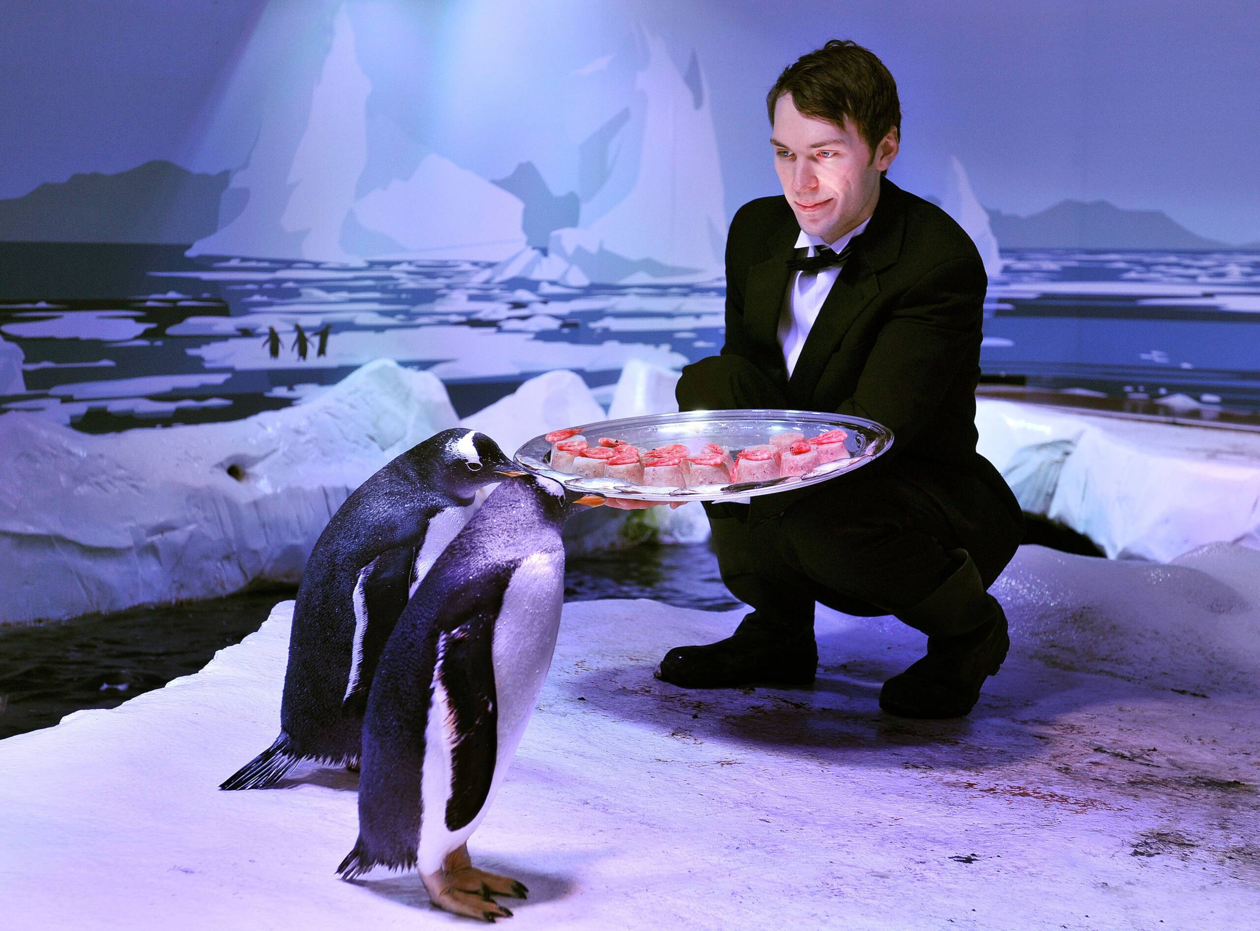 The Gentoo Penguins at the London Aquarium are presented with a Fishmas Dinner by waiter Tom Pockert, as a special festive treat for the popular guests from the Antarctic region who reside on the south bank close to Westminster in central London. (Photo by John Stillwell/PA Images via Getty Images)