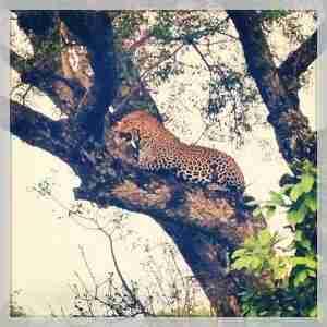Leopard Tree