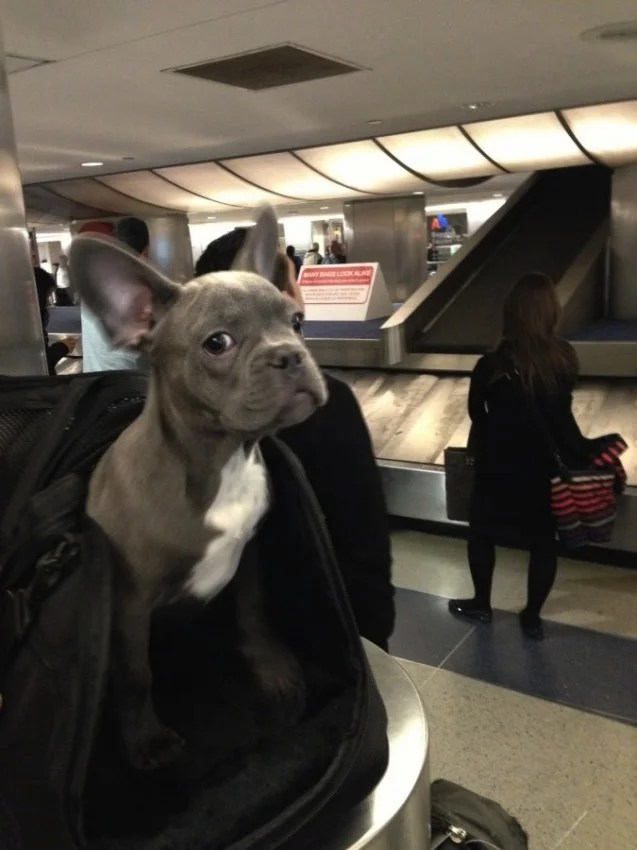 Tips for traveling with pets airline and hotel policy for Airlines that allow dogs in cabin