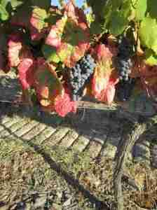 Some of the 30-odd varietals of grapes that go into making Port.