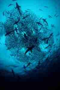 A swirl of hammerheads at Costa Rica