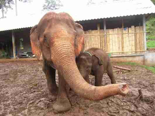 "A rescued baby elephant with her ""stepmom"" at Ran-tong Elephant Rescue"
