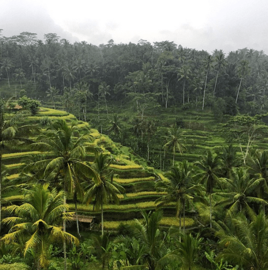 Bali's trademark terraced rice paddies, or sawi padah