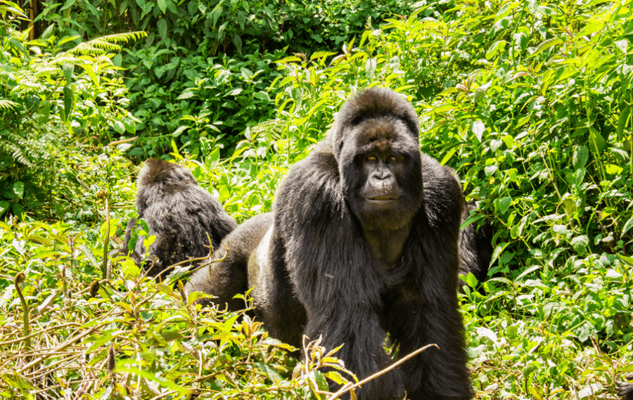 Head to Rwanda to track its famous (and rare) mountain gorillas. Photo credit: Volcanoes Safaris.