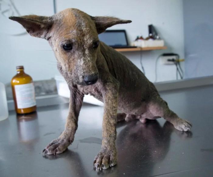 Pea Mai — a Soi Dog — before rehabilitation.