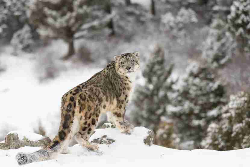 The rare, elusive Humalayan snow leopard is the cat
