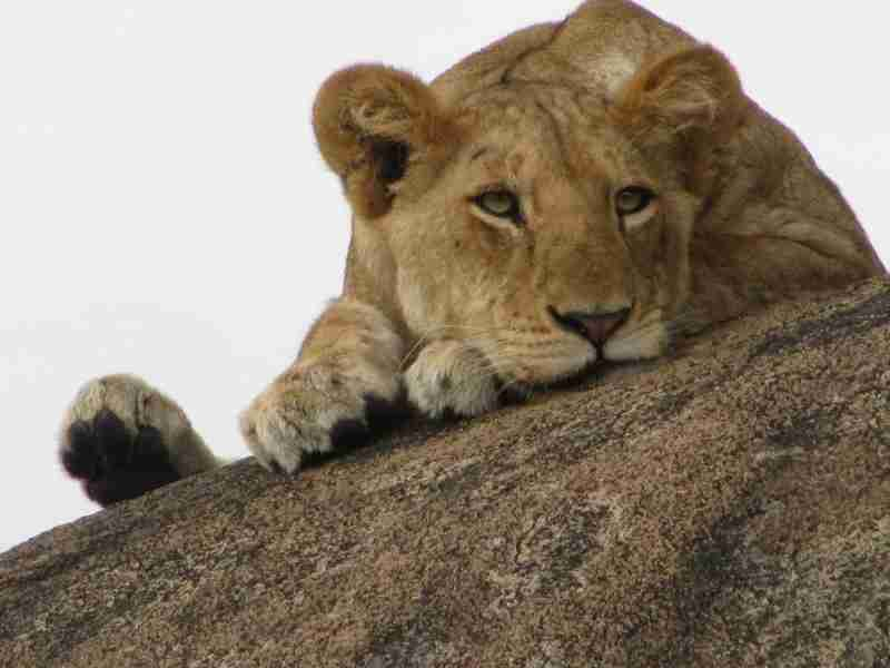 A teenage lioness at rest in Tanzania