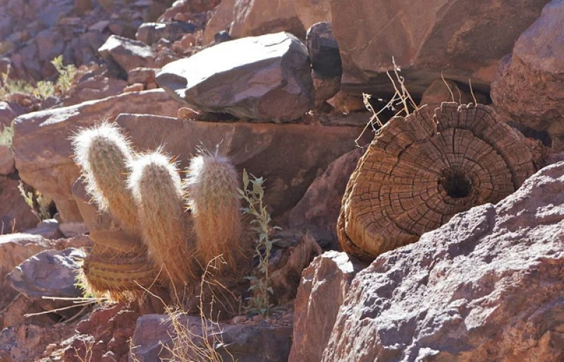 The cardon cacti in the Atacama's Los Cardones Ravine have adapted to the dry landscape with centers of petrified wood.