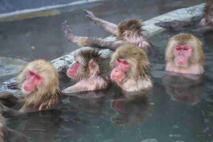Soak in a hot spring in Hakodate with the snow monkeys. Photo courtesy of Shutterstock.