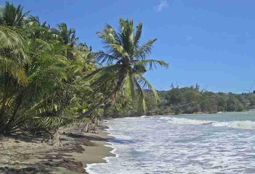 Naguabo has some beautiful palm trees.
