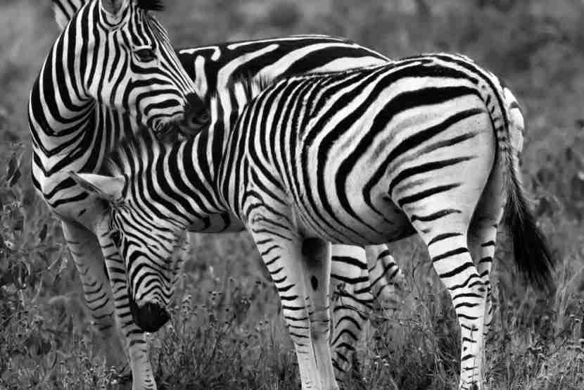Zebra show some love. Image courtesy of the author.