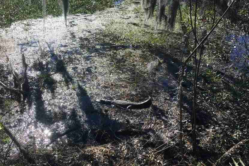 Alligator sunbathing at Barataria Preserve.