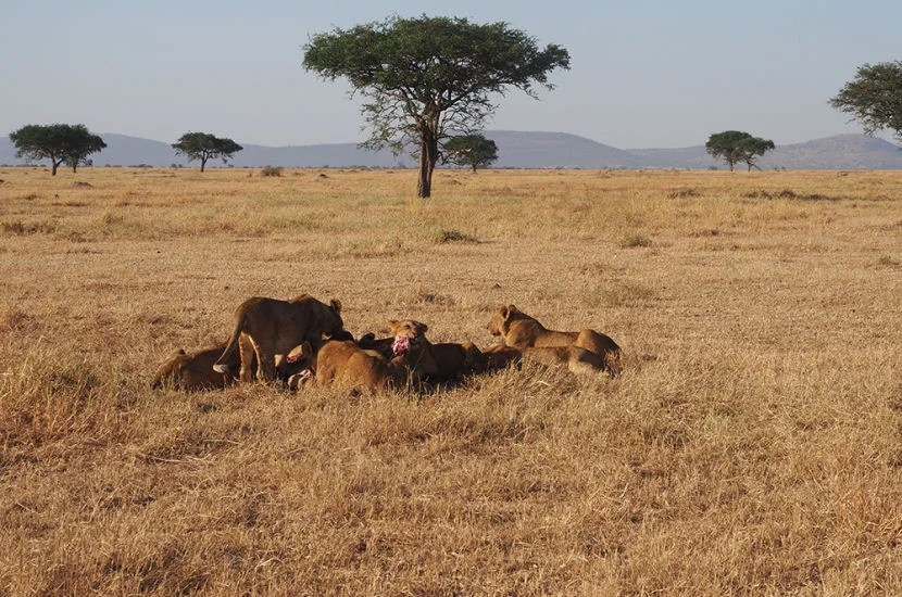 The whole point of going on safari is for the game dive — like seeing a packof lions rip into a fresh kill.