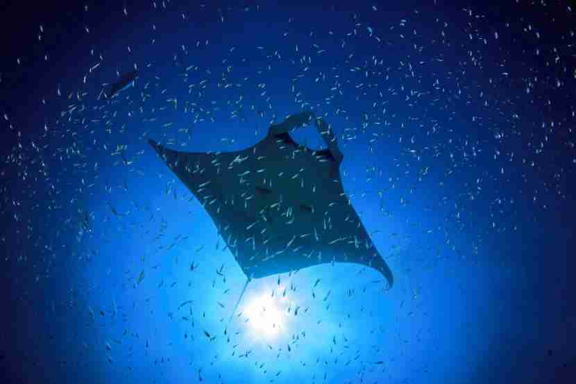 Take a night swim and watch these massive manta rays glide through the water. (photo courtesy shutterstock)