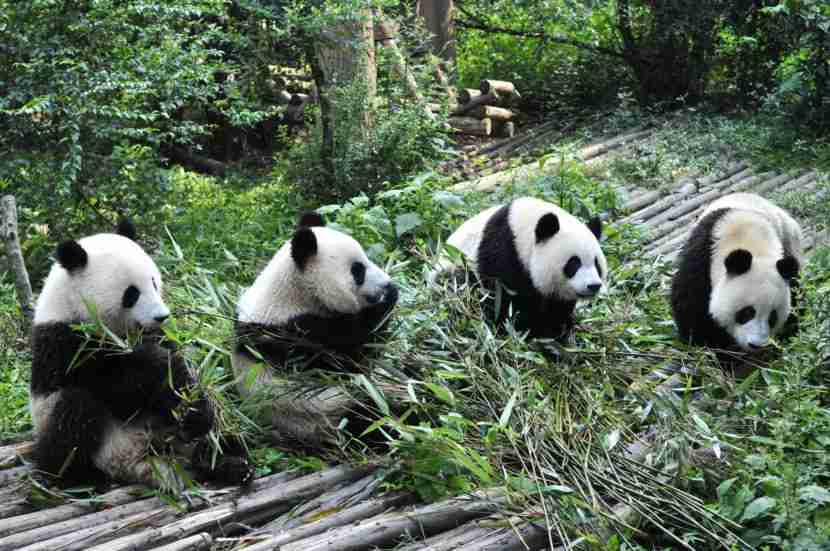 See the great pandas in Chengdu. Image courtesy of Getty Images.