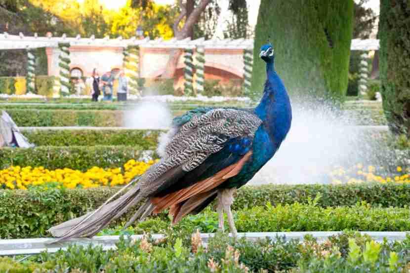 A regal peacock surveys his surroundings in Retiro Park. Image courtesy of IHervas via Getty Images.
