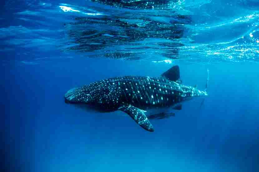 Go swimming with the whale sharks in La Paz. Image courtesy of Getty Images.