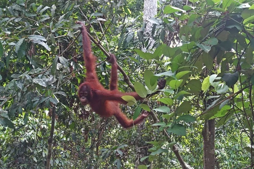 Seeing an orangutan in the rainforests of Borneo is a really special experience. Image by the author.