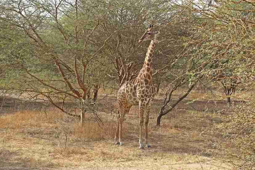 A giraffe spotted at the Bandia Reserve. Image by the author.