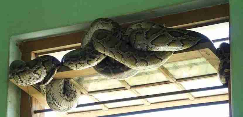 Even open windows are largely filled by resting snakes. Don