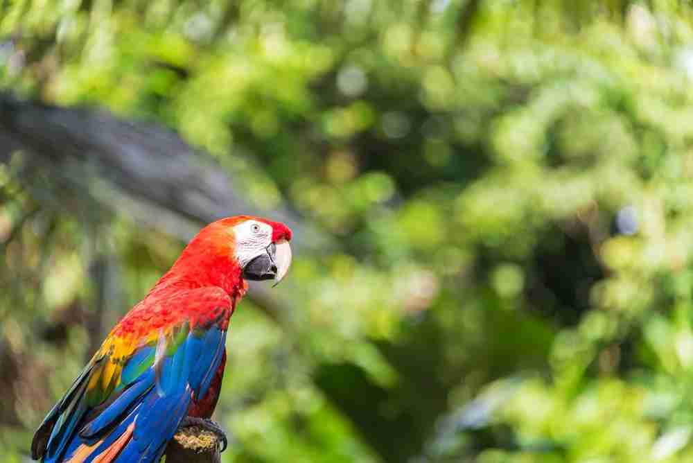 A scarlet macaw in the Amazon rainforest. Image by Jesse Kraft / EyeEm / Getty Images.