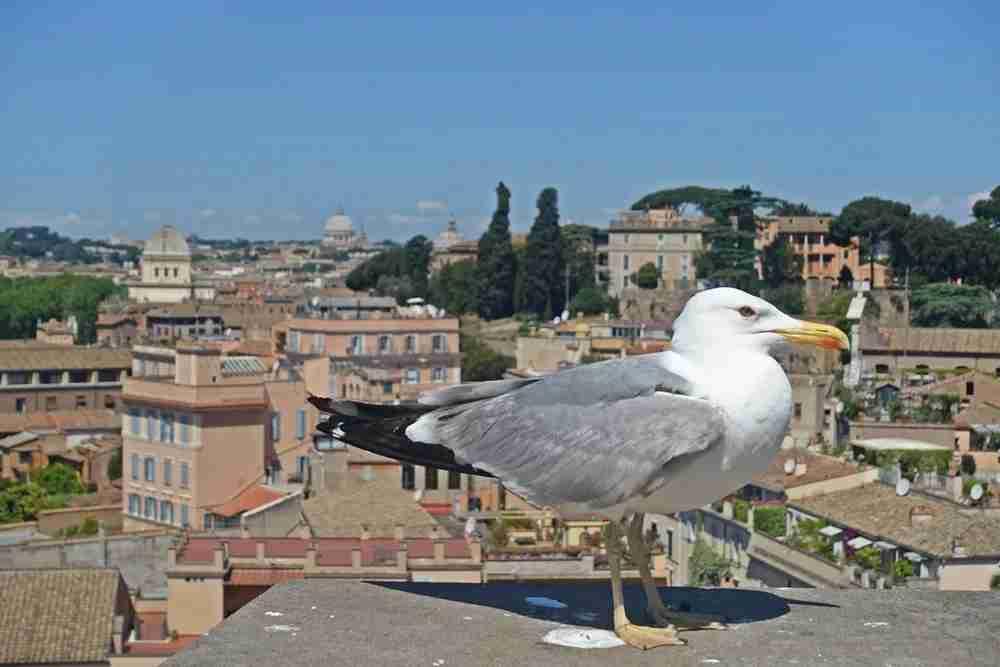 Rome seagull