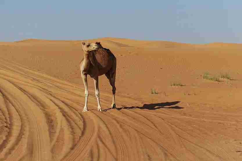 Lone camel on grounds Al Maha Desert Resort Dubai Review
