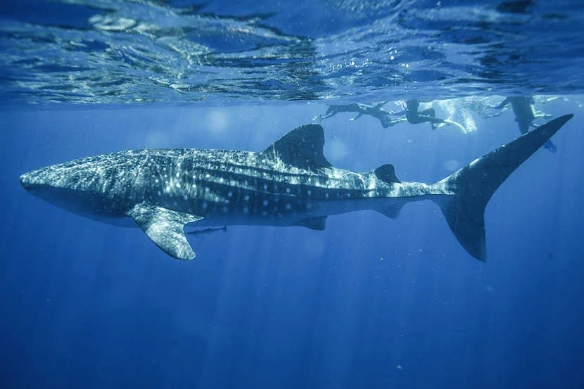 The couple can go swimming with whale sharks at Sal Salis in Western Australia. Image courtesy of Sal Salis.