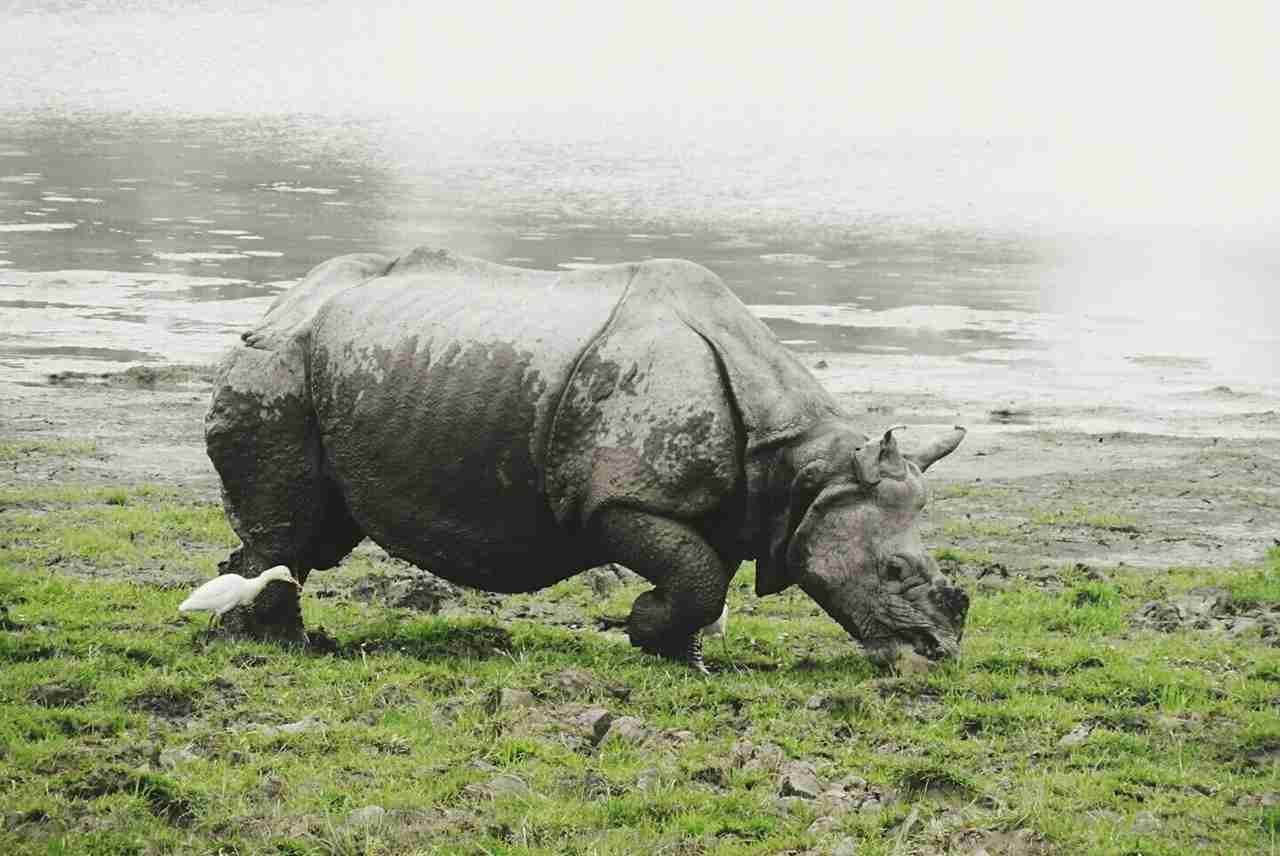 A Great Indian Rhinoceros with bird at Kaziranga National Park. (Photo by Parth Mehrotra / EyeEm / Getty Images)