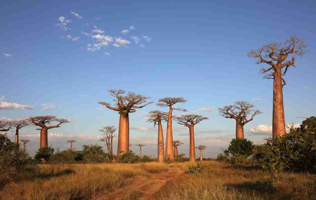 Avenue of the Baobabs near Morondava, Madagascar